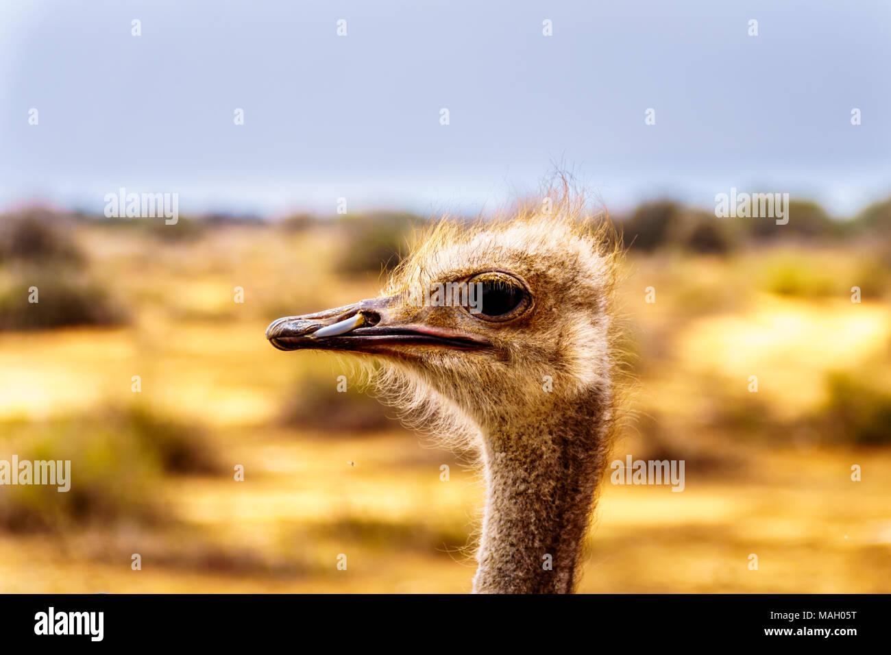 Cerca de una cabeza de avestruz en una granja de avestruces en Oudtshoorn en el semi desierto poco Karoo, Región, Provincia del Cabo Occidental de Sudáfrica Foto de stock