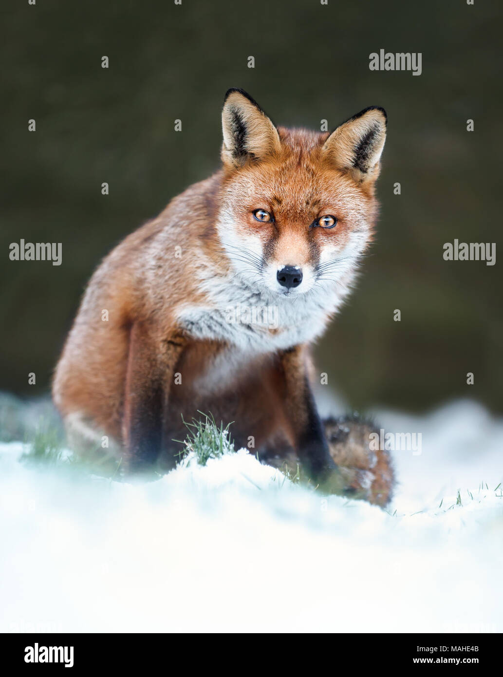 Close-up de un zorro rojo en la nieve, el invierno en el Reino Unido. Foto de stock