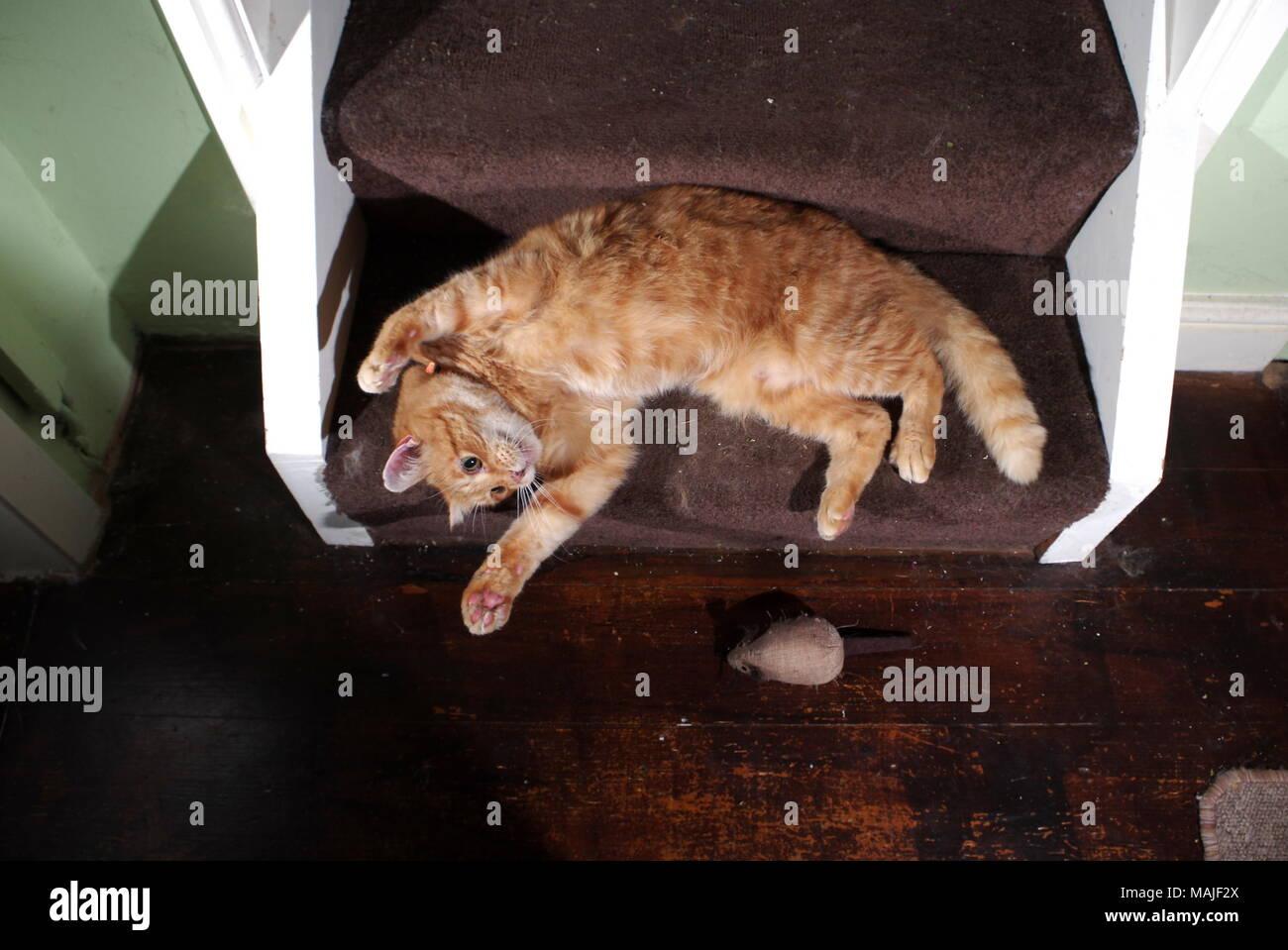 Jengibre gato jugando en las escaleras Foto de stock