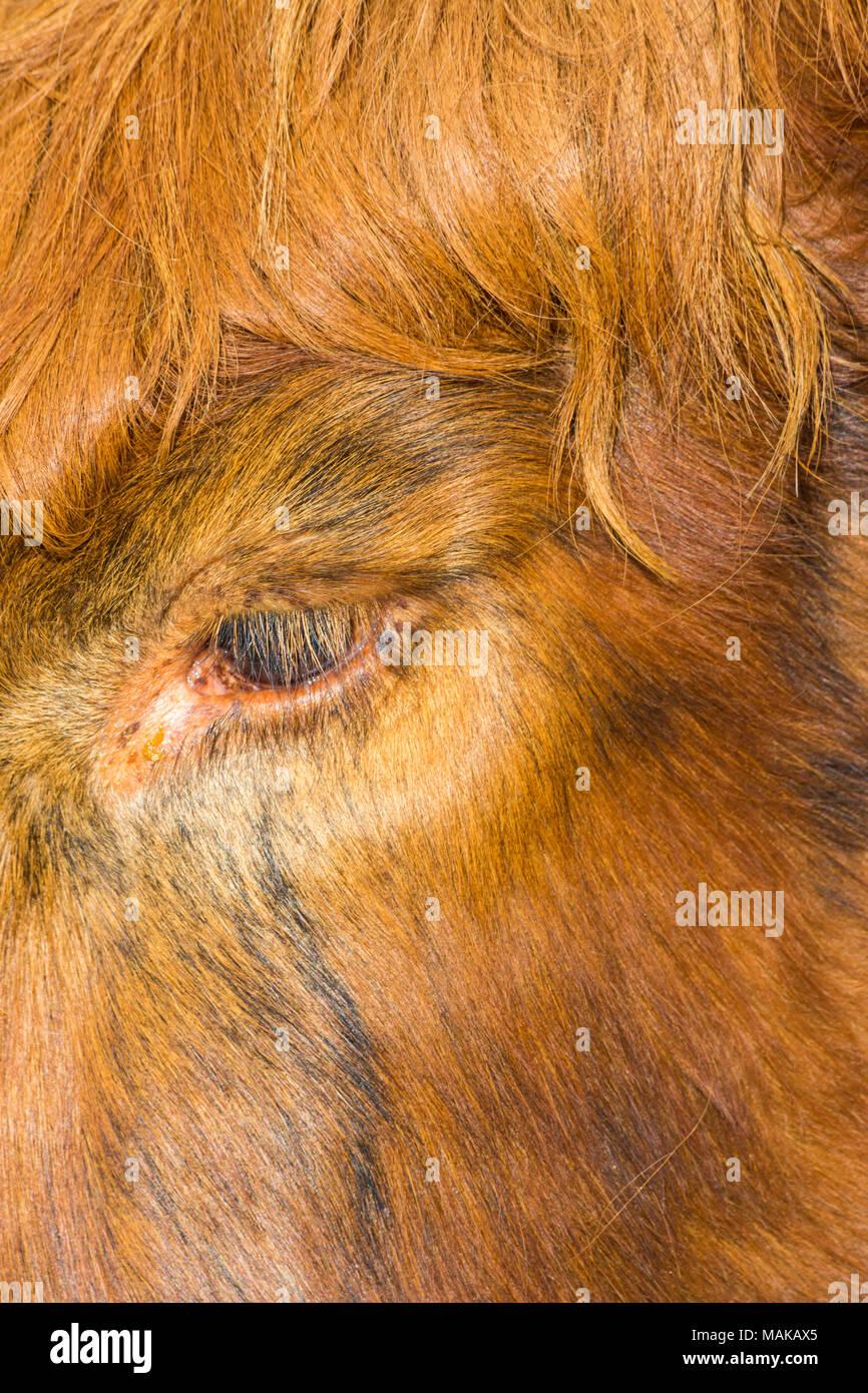 Resumen Cerrar detalle de ojo y ojo latigazos de Highland ganado vacuno en la Isla de Skye, Escocia, Reino Unido en marzo Foto de stock
