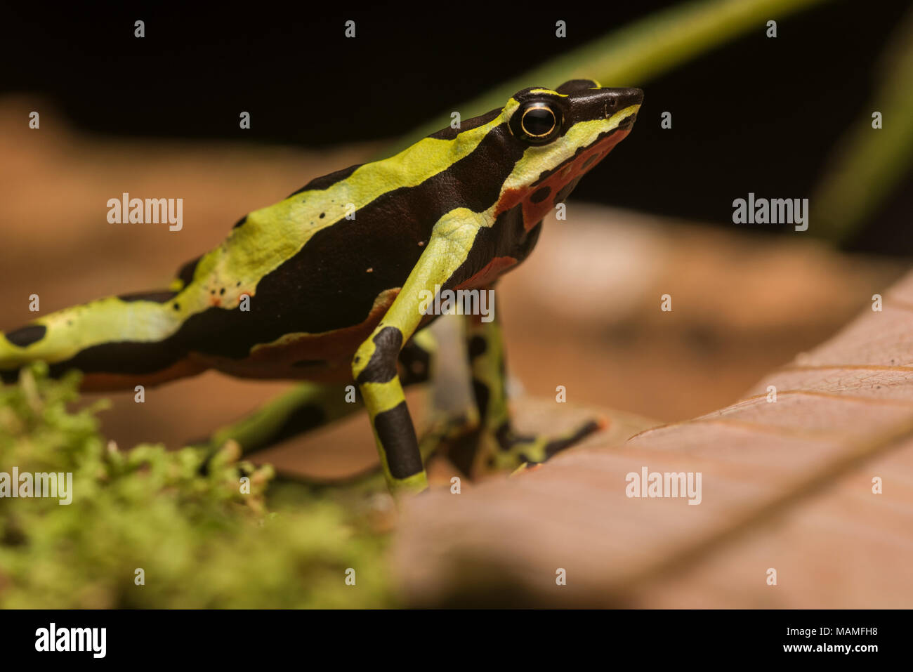 Un sapo stubfoot críticamente amenazadas, Atelopus pulcher, endémica de Perú. Las poblaciones de esta especie han disminuido y se encuentra en peligro de extinción. Imagen De Stock
