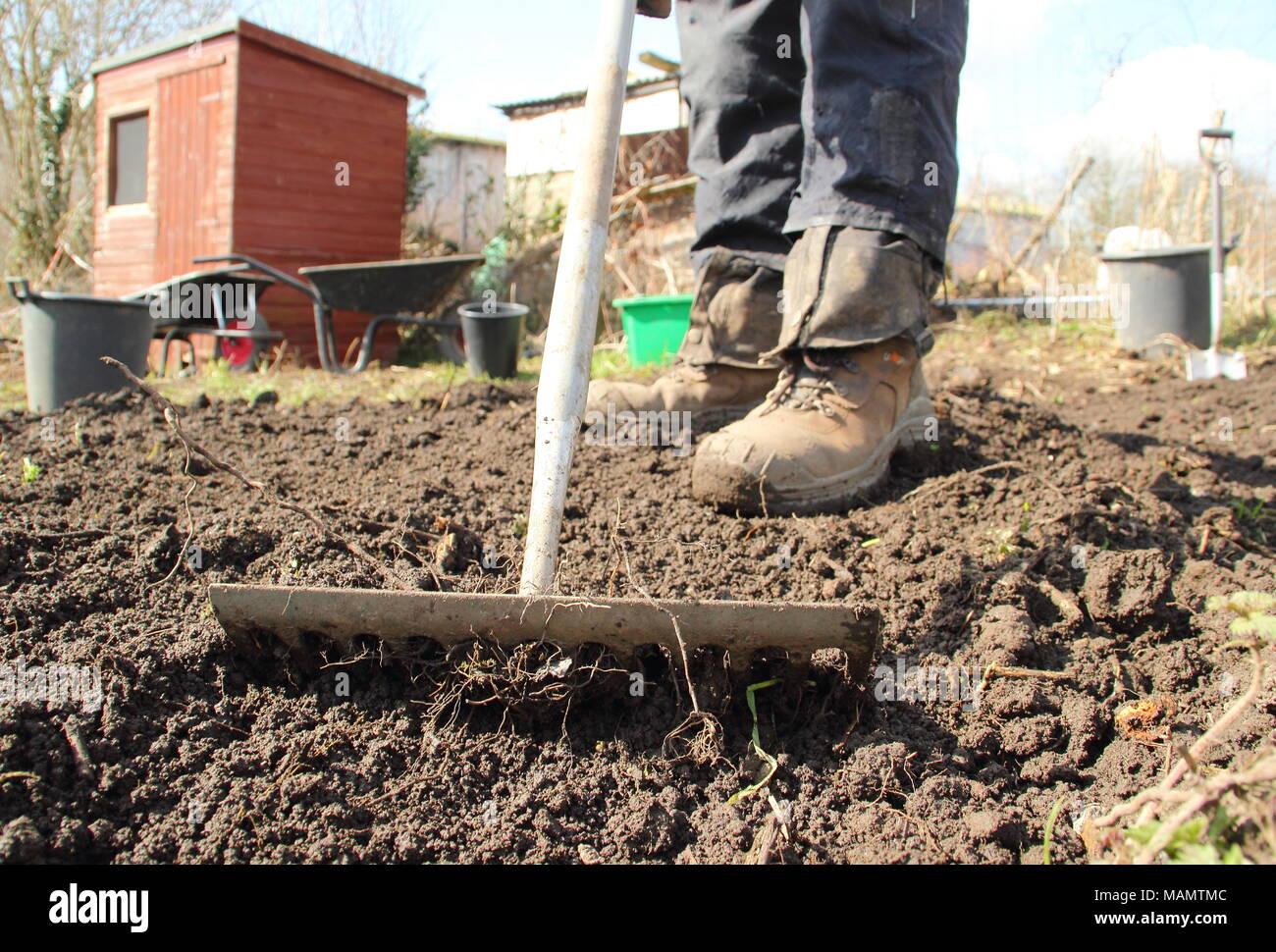 Jardinero jefe de nivel utiliza el rastrillo para romper el suelo y quitar las malas hierbas en una cama vegetal antes de la siembra, a comienzos de la primavera, REINO UNIDO Imagen De Stock