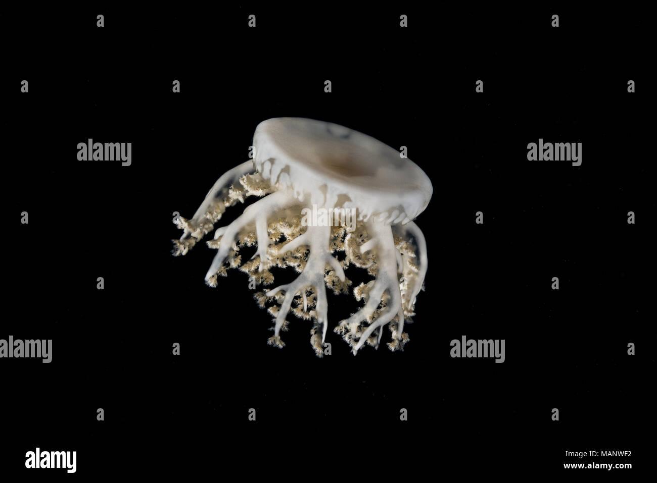 Al revés de las medusas (Cassiopea andromeda) en la noche Imagen De Stock