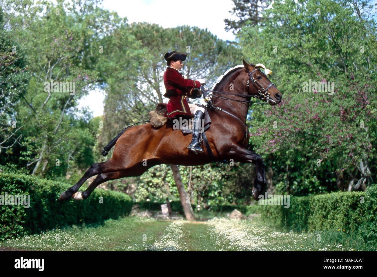 Alter Real. Bay adulto con rider realiza una capriole. Portugal Imagen De Stock