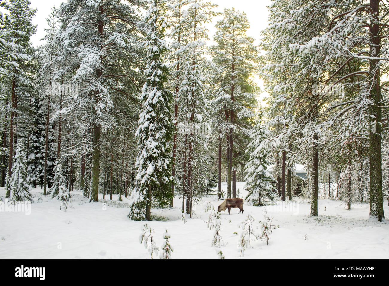 Hermosa vista panorámica del bosque nevado con altos pinos y renos durante el invierno en Laponia, Finlandia, la temporada de Navidad Saludo Foto de stock