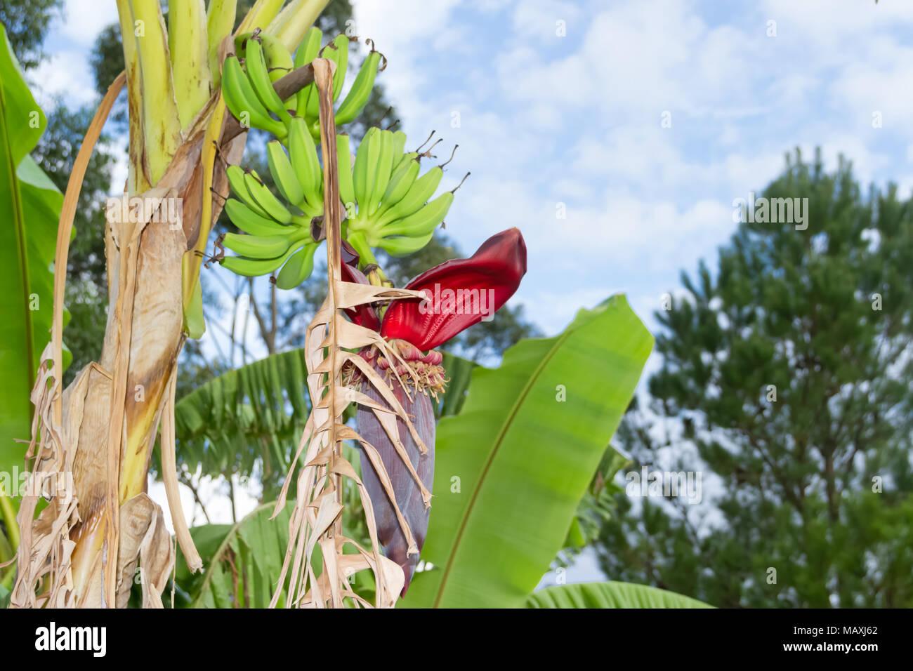 Plátanos verdes en el jardín orgánico planta Imagen De Stock