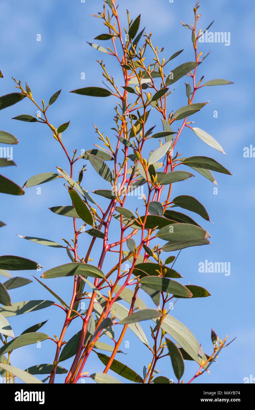 Hojas y tallos rojos desde un Gum Tree (Árbol de eucalipto) a principios de la primavera en el Reino Unido. Imagen De Stock