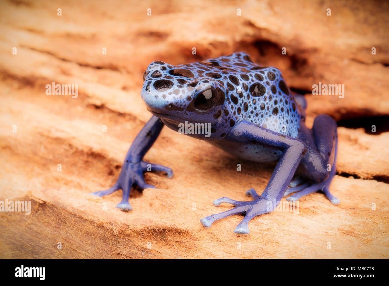 Azul y negro poison dart frog, Dendrobates Azureus. Un hermoso bosque venenoso animal en peligro de extinción. Pet en una selva tropical de anfibios Imagen De Stock