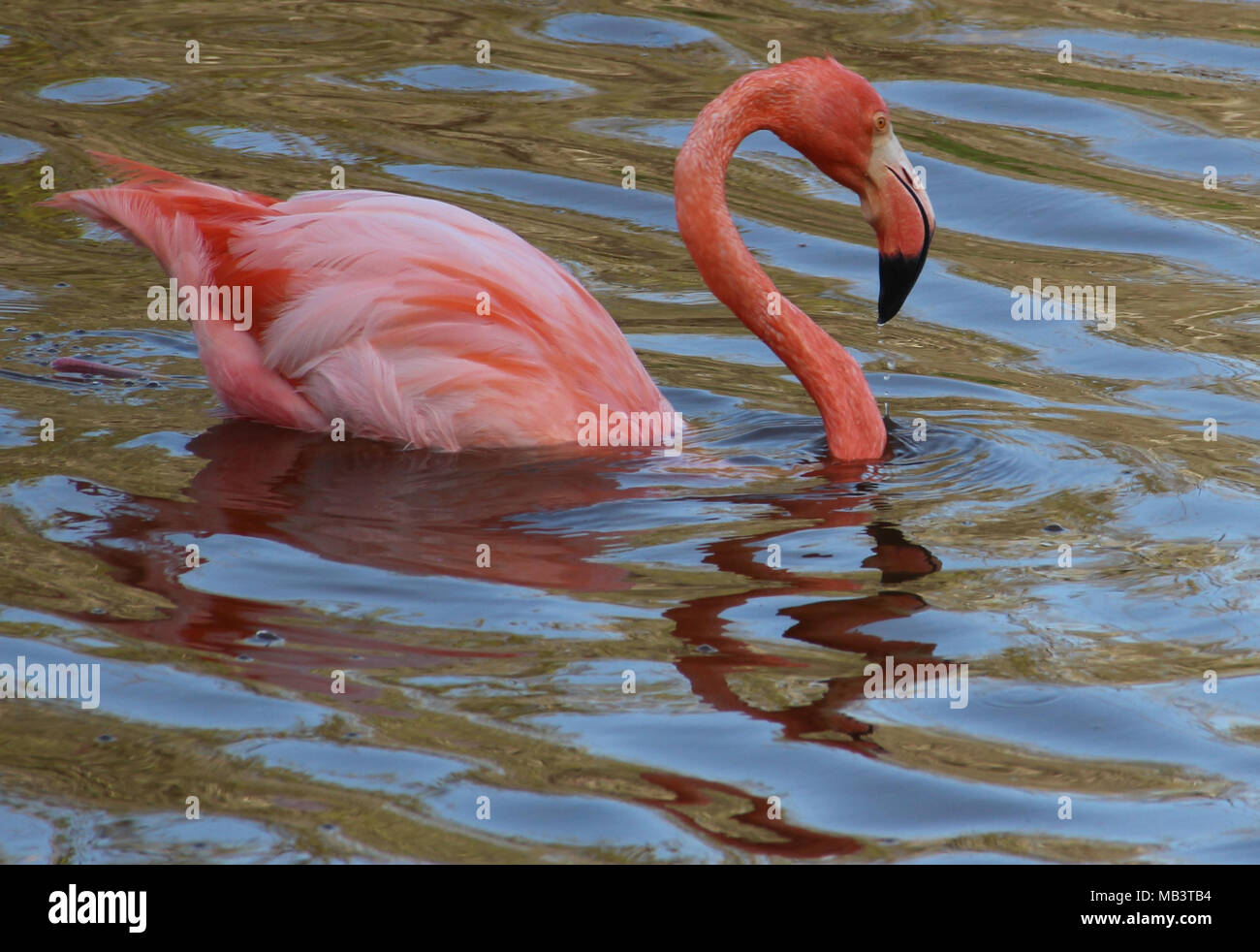 Bastante flaming flamingo Foto de stock