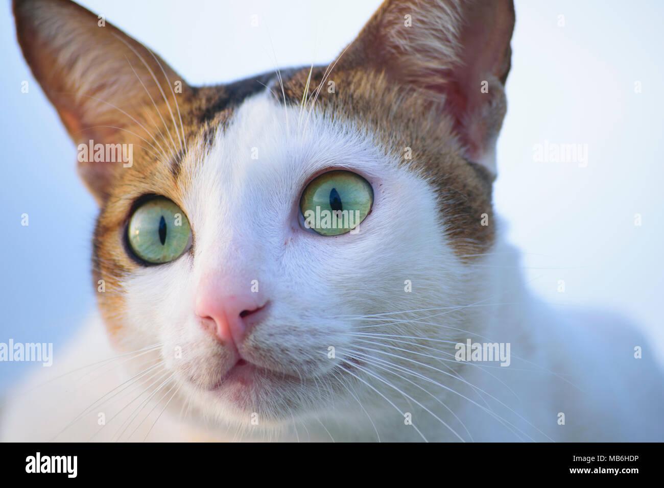 """Cerrar de ojos verdes de gato doméstico en Indonesia. Es lo que denominamos """"KUCING KAMPUNG' Imagen De Stock"""