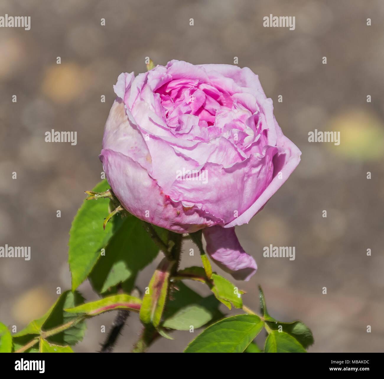 Rosa Belle Amour En El Jardín Botánico De Dunedin Nueva