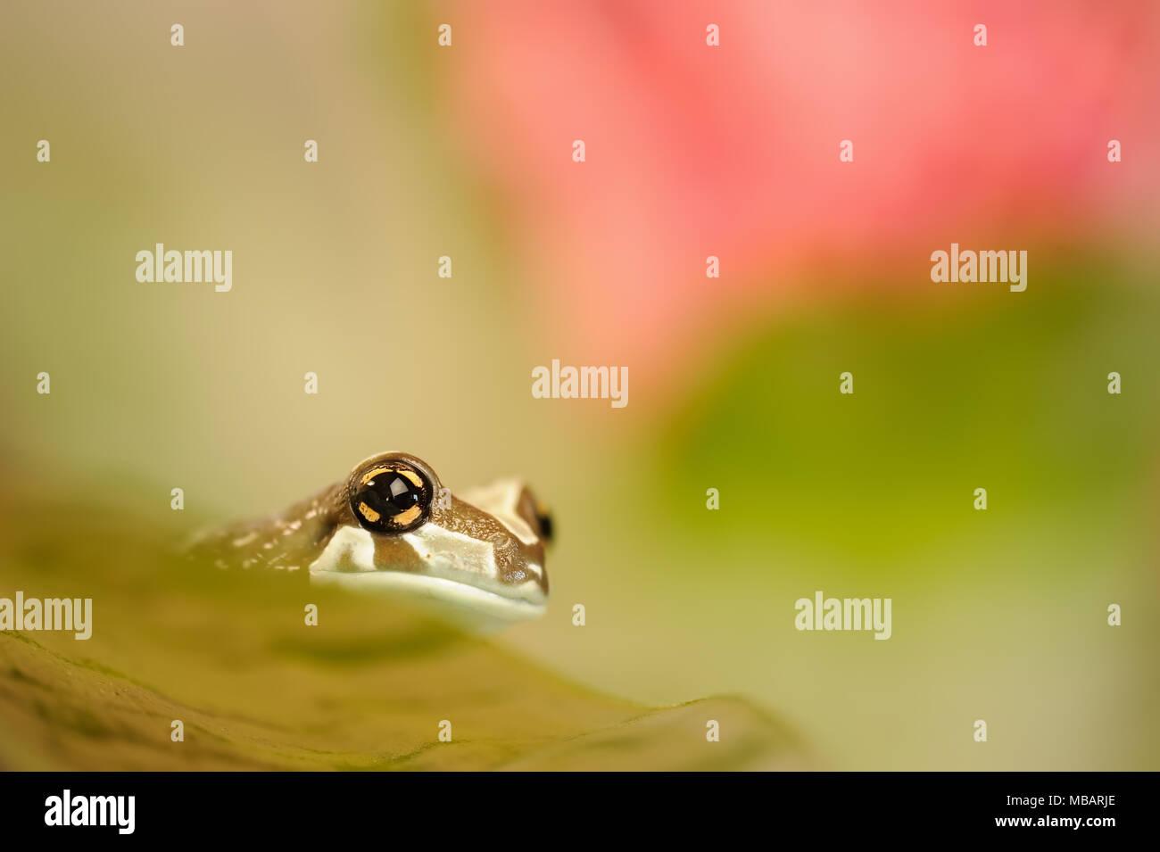 Amazon milk frog en grean leaf. Foto de stock