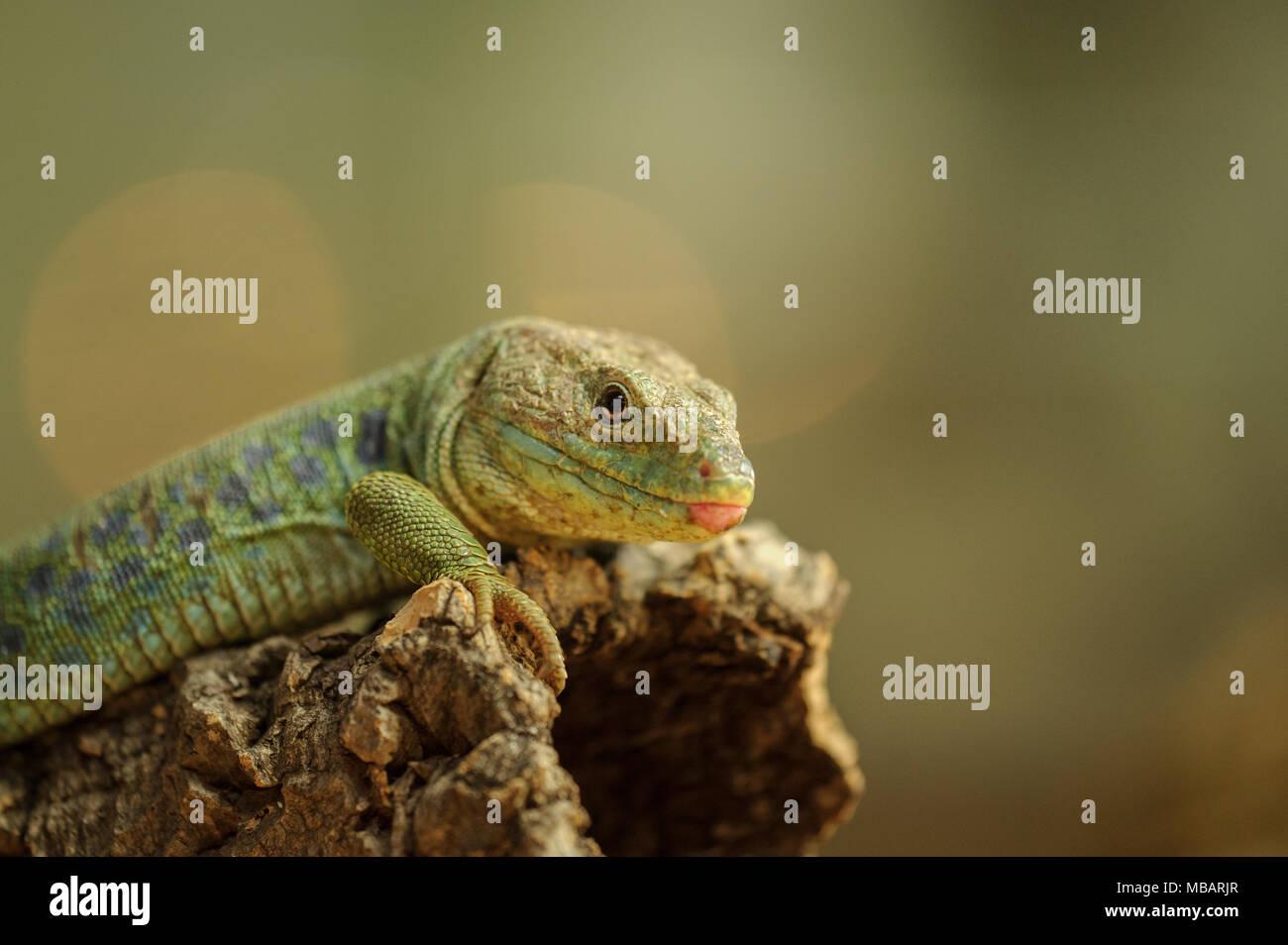 Ocellated lizard de lado Imagen De Stock