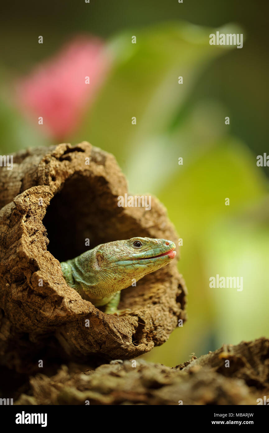 Ocellated lizard en el orificio de la rama de árbol Imagen De Stock