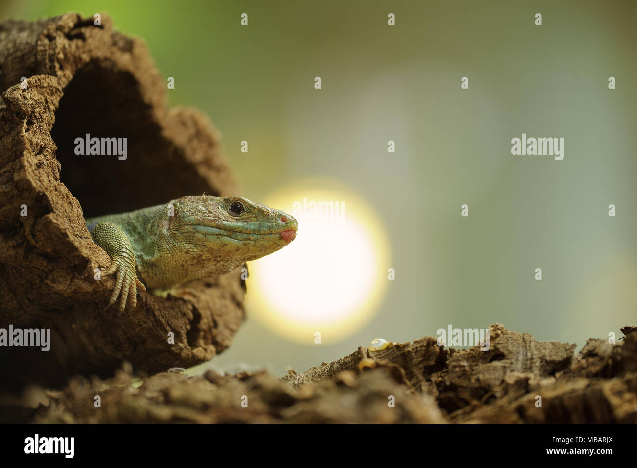 Ocellated lizard en el árbol hueco con sun en segundo plano. Imagen De Stock