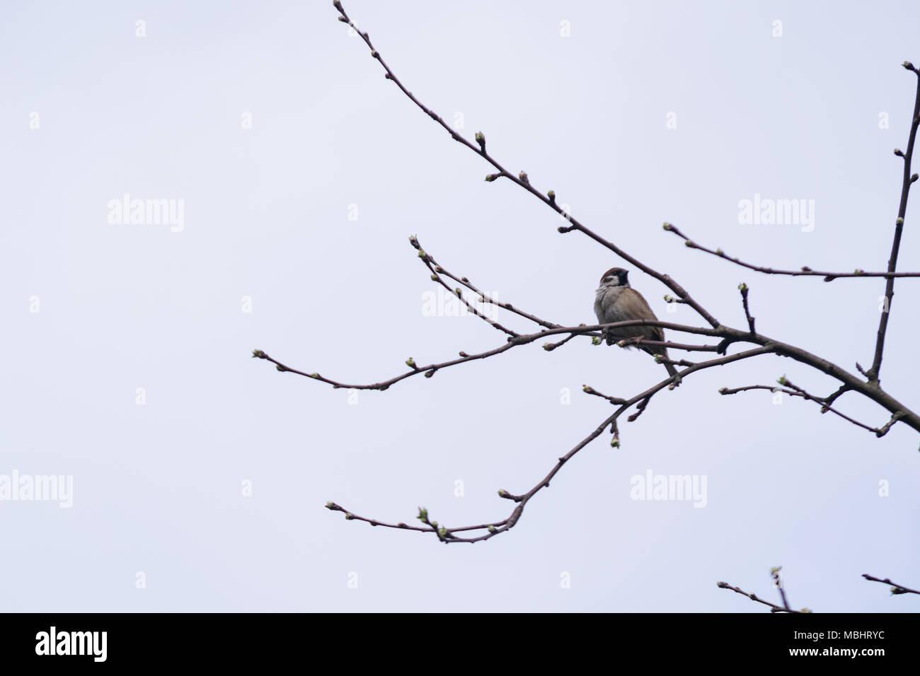 Polonia, Głębowice, 11 Abr 2018. Gorrión doméstico (Passer domesticus). El gorrión en Polonia la población se estima en 5,7 - 6,9 millones de pares. Representa casi 4 partes de la población europea. En los años 80 del siglo anterior, era 3 veces más que hoy. 20 de marzo celebramos el Día Internacional de Sparrow. Crédito: w124merc / Alamy Live News Foto de stock
