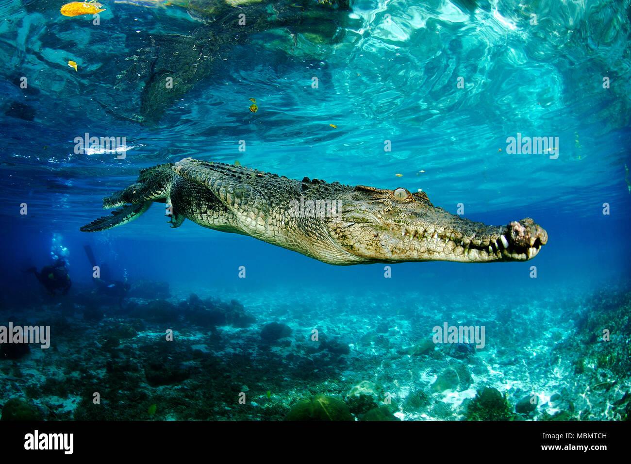 El cocodrilo de agua salada (Crocodylus porosus), el más grande de todos los reptiles vivos, Palau, Micronesia Foto de stock