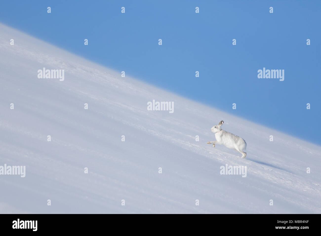 Mountain Hare Hare / nieve / alpino de la liebre (Lepus timidus) en invierno pelaje girando en la nieve cuesta arriba Foto de stock