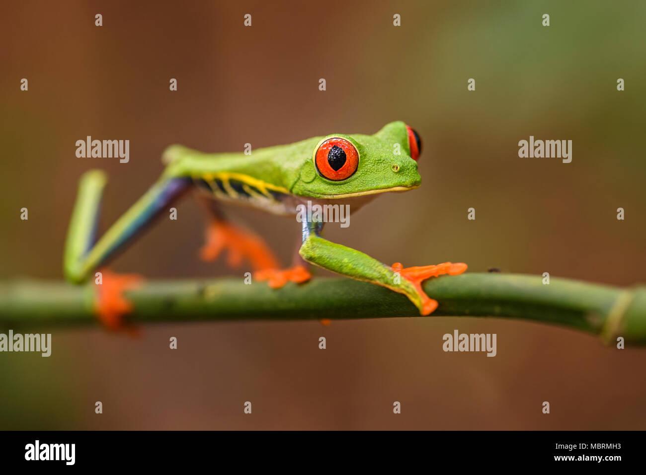 La rana arborícola de Ojos rojos -Agalychnis callidryas, hermoso colorido de famosos a los bosques de América Central, Costa Rica. Foto de stock
