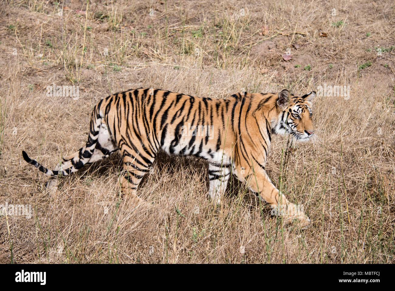 Macho de dos años, tigre de Bengala, Panthera tigris tigris,Vista lateral, longitud completa, caminar en la Reserva de Tigre de Bandhavgarh, en Madhya Pradesh, India Imagen De Stock