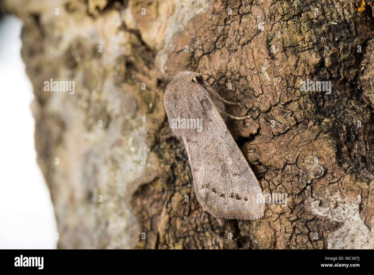 Pappel-Kätzcheneule, Pappel-Kätzchen-Eule, Orthosia populeti, monótona, de color plomo, Noctuidae, Eulenfalter n�tuidos polillas, n�tuidos moth Imagen De Stock