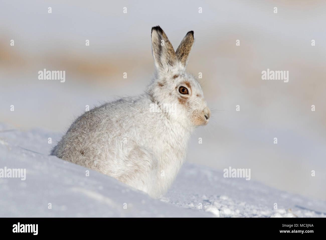 Mountain Hare Hare / nieve / alpino de la liebre (Lepus timidus) en invierno blanco pelaje sentado en la nieve. Imagen De Stock