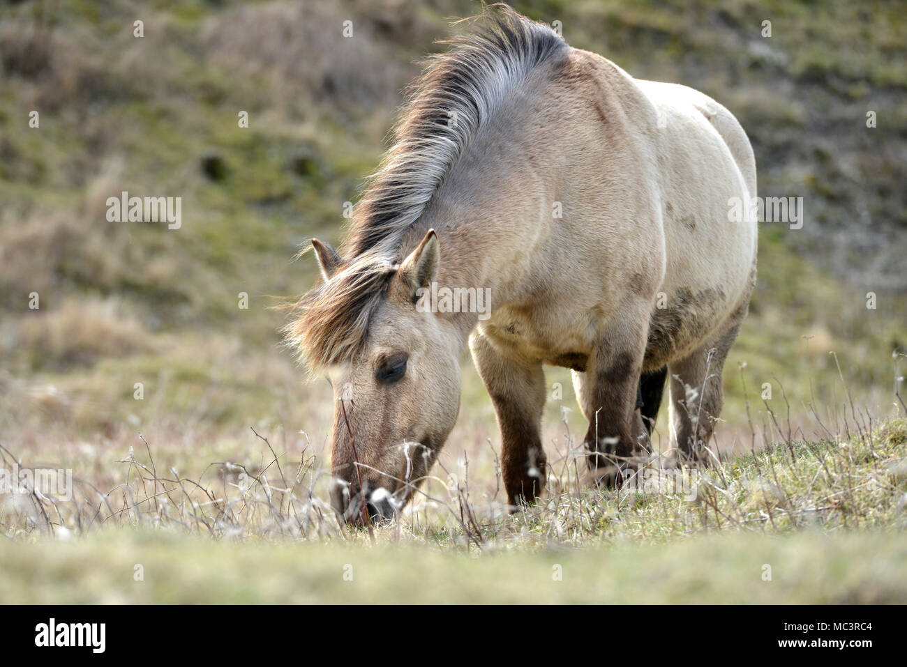 Konik ponis en Malling, Lewes, East Sussex, utilizada por Sussex Wildlife Trust a pastar en el Parque Nacional de South Downs. Imagen De Stock
