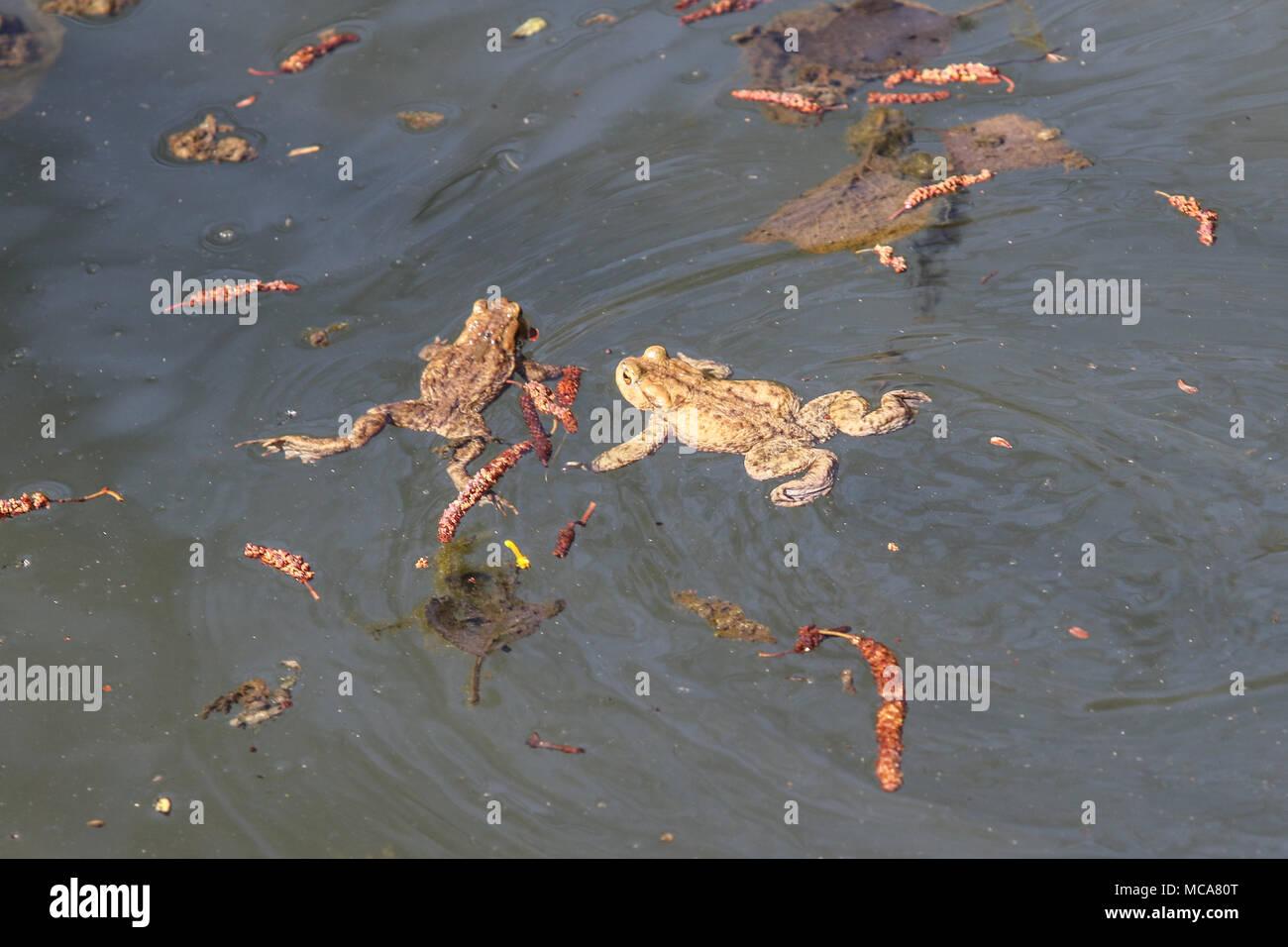 Gdansk, Polonia, el 14 de abril de 2018 Deje que la rana vaya la acción. Los ecologistas, activistas locales y residentes trampa, y que lleve a los estanques, ranas, sapos y otros anfibios en sus rutas de migración, en la ciudad, para evitar que sean asesinados por la conducción de automóviles. Las ranas en un estanque son vistos © Vadim Pacajev / Alamy Live News Foto de stock