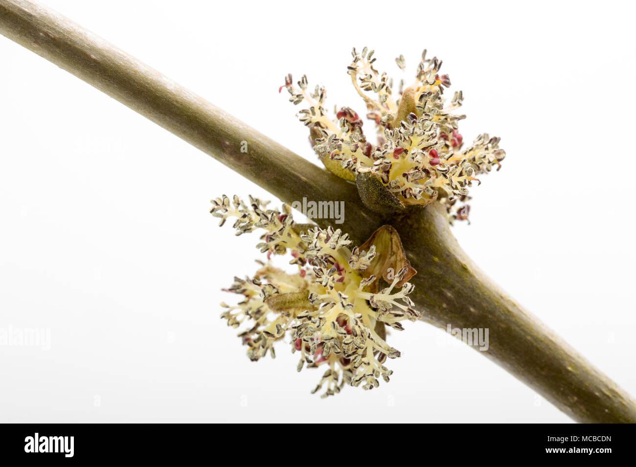 Las flores del árbol fresno Fraxinus excelsior el 15 de abril de 2018, Dorset, Inglaterra. Como dice el viejo refrán ceniza antes de roble, en remojo antes de Roble, Fresno, en f Imagen De Stock