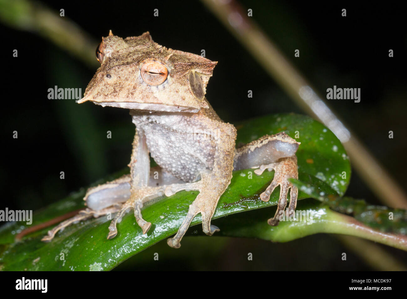 El extremadamente raro y en peligro de extinción Ecuador Cornuda Hemiphractus Treefrog (Bubalus). Por la noche se posan en su hábitat natural, la selva, el sotobosque Imagen De Stock