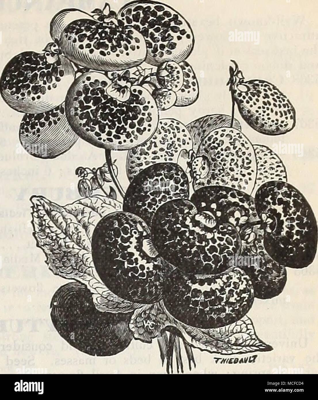 """. -RmatnlX Calceolaria Hybrida Tigkina. Corte.) 20. 5353 Hybrida Grandi- flora Piimila coin- pacta. De enano, com- pacto, un sólido crecimiento, pro- ductoras enormes vigas de gran y variado brillante coloreado y manchada de flores ; 1 ft 5354 Kug-OSA, mezclado {^Arbustivos)--flor pequeña- ción de variedades para la ropa de cama; de los mejores colores; 1 ft. 3"""") 50 CAI^I^IRHOB. Un crecimiento anual muy bonita, de dos a tres pies de alto. Se comienza a florecer cuando era muy pequeña, y con- sigue existiendo una masa de florecen todo el verano. 5341 Calllrhoe Pedata. Crim ricos- Hijo, ojo blanco 5 Foto de stock"""