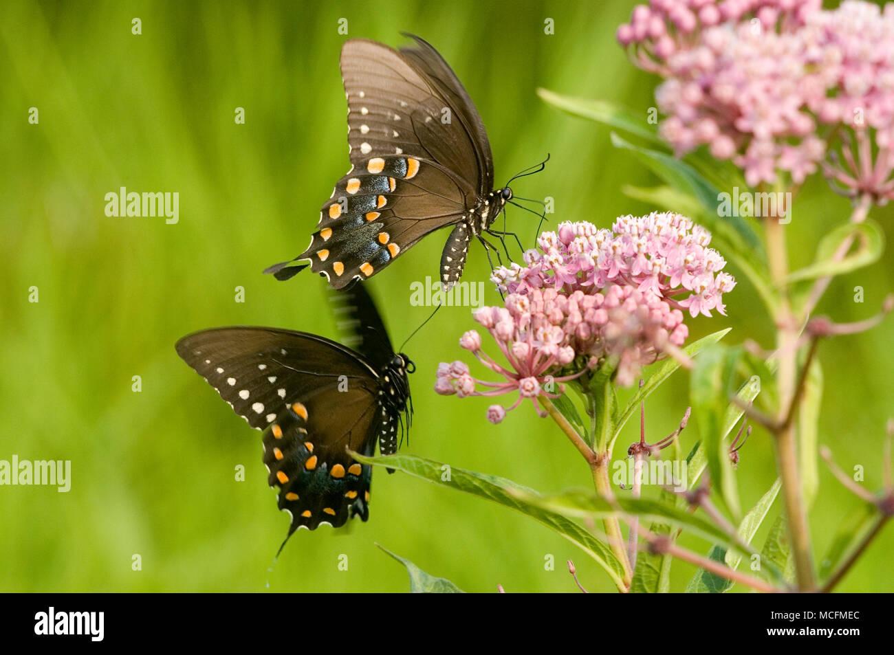 03029-013.03 Swallowtails Spicebush (Papilio Troilo) macho y hembra comportamiento de cortejo cerca de pantano (Asclepias Asclepias incarnata) Marion Co. IL Foto de stock