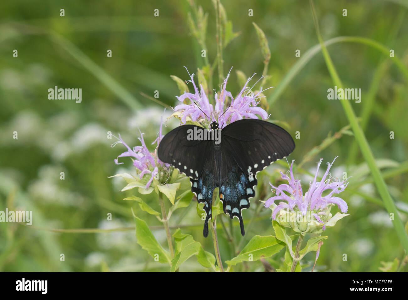 03029-01518 Spicebush especie (Papilio Troilo) en Wild (bergamota Monarda fistulosa) Marion Co. IL Foto de stock