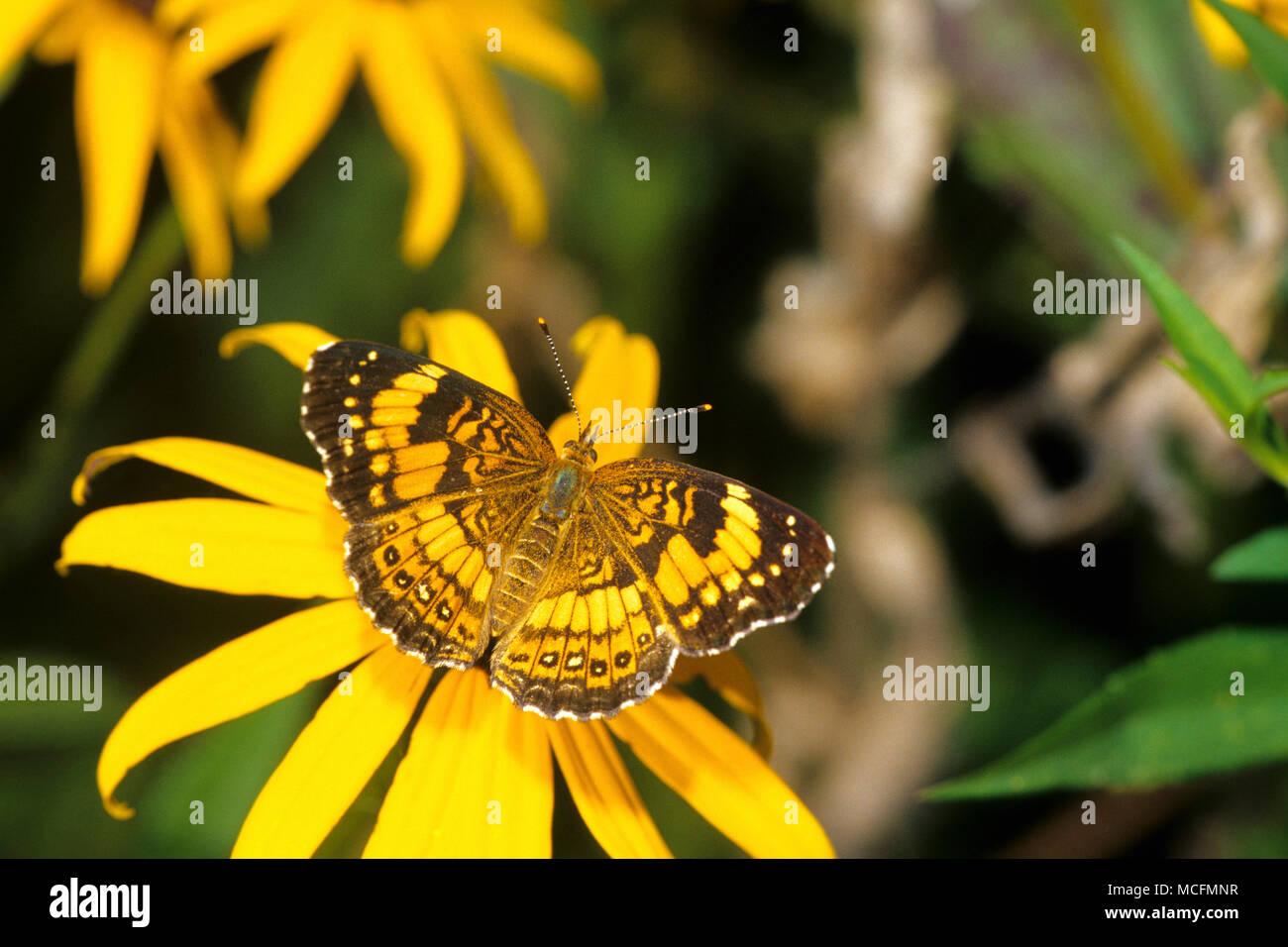 Plateado 03365-00216 Checkerspot butterfly (Chlosyne nycteis) en Black-eyed Susan (Rudbeckia hirta) Marion Co. IL Foto de stock