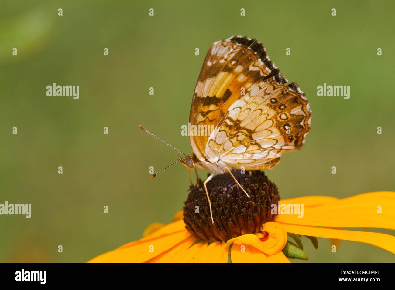Plateado 03365-00312 Checkerspot butterfly (Chlosyne nycteis) Goldstrum Black-eyed Susans (Rudbeckia hirta 'Goldstrum') Marion Co., IL Foto de stock