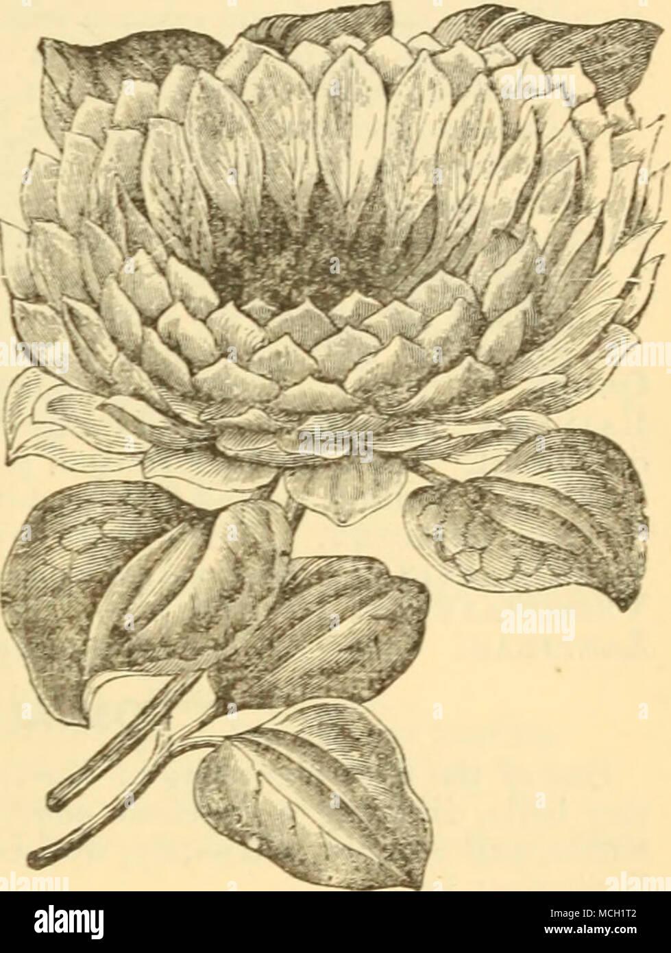 Campsidium Filicifolium Un Elegante Citeus Maxdakix El Favorito