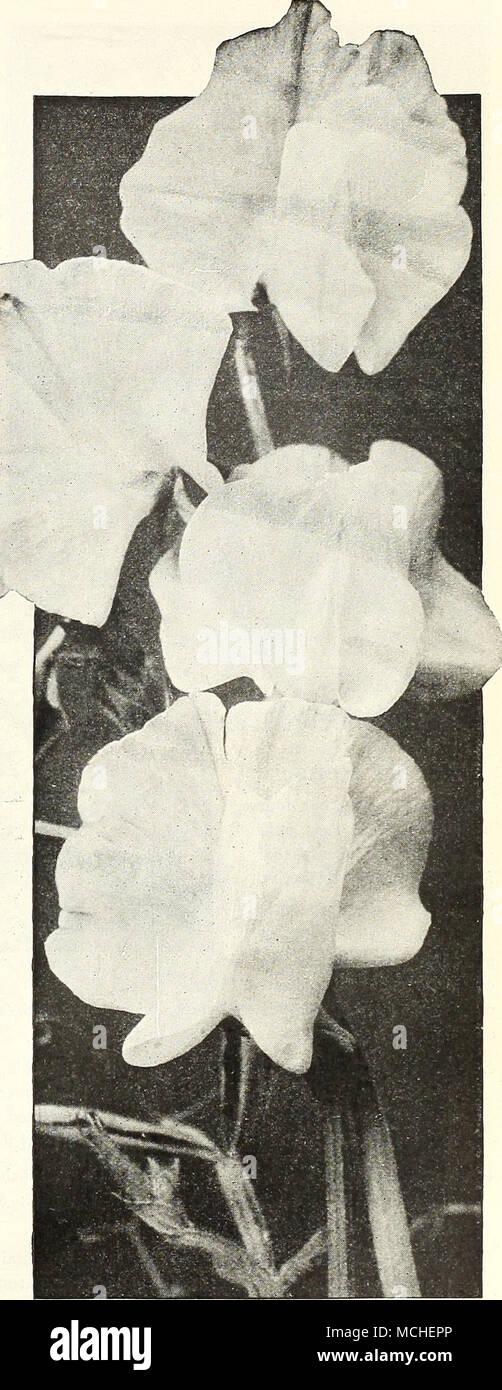 Los guisantes dulces de flores orquídeas blancas Rey Dreer la ...