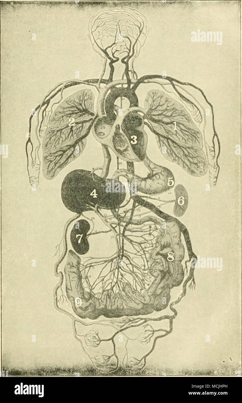 Mostrar sistema de órganos internos. Yo knd t, los pulmones. 3, el ...