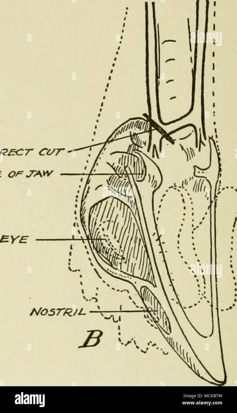 Fig. 66. Mandíbula inferior desmontado, mostrando la posición de las ...