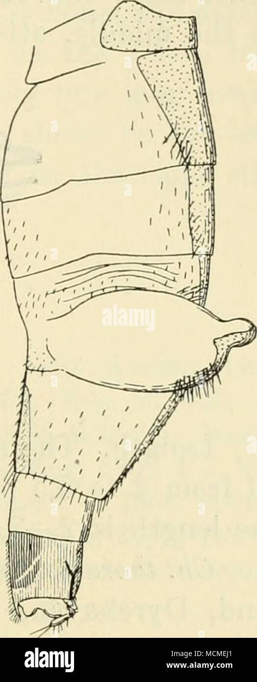 . Fig. 39. Fig. 41. Fig. 40. Abdomen de Ch. thoracia $. Fig. 39 normalmente distendido, desde arriba; Fig. 40 con los sacos sacó, desde arriba; Fig. 41 la misma desde el lado. en la cara ventral del sexto segmento tiene una gran placa ventral chitinized; así como el conocido de un ventrite occurrenoe siich es muy rara entre los Phorids, su aparición aquí es, creo yo, debido a la peculiar construcción de abdomen. El lateral de pelos en el abdomen son algunos- lo llamativo además de los pelos largos en el segundo segmento; sobre la membrana para cada lado de la quinta tergite un manojo de cerdas es visto, cuando este pa Foto de stock