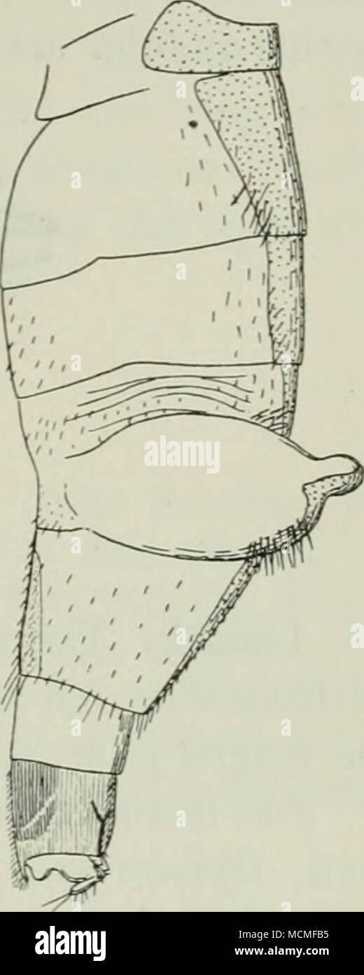 . Fig. 39. Fig. 41. Fig. 40. Abdomen de Ch. thoracia $. Fig. 39 normalmente distendido, desde arriba; Fig. 40 con los sacos sacó, desde arriba; Fig. 41 la misma desde el lado. en la cara ventral del sexto segmento tiene una gran placa ventral chitinized; así como conocer la ocurrencia de tal ventrite es muy rara entre los Phorids, su aparición aquí es, creo yo, debido a la peculiar construcción de abdomen. El lateral de pelos en el abdomen son algunos- lo llamativo además de los pelos largos en el segundo segmento; sobre la membrana para cada lado de la quinta tergite un manojo de cerdas es visto, cuando este par Foto de stock