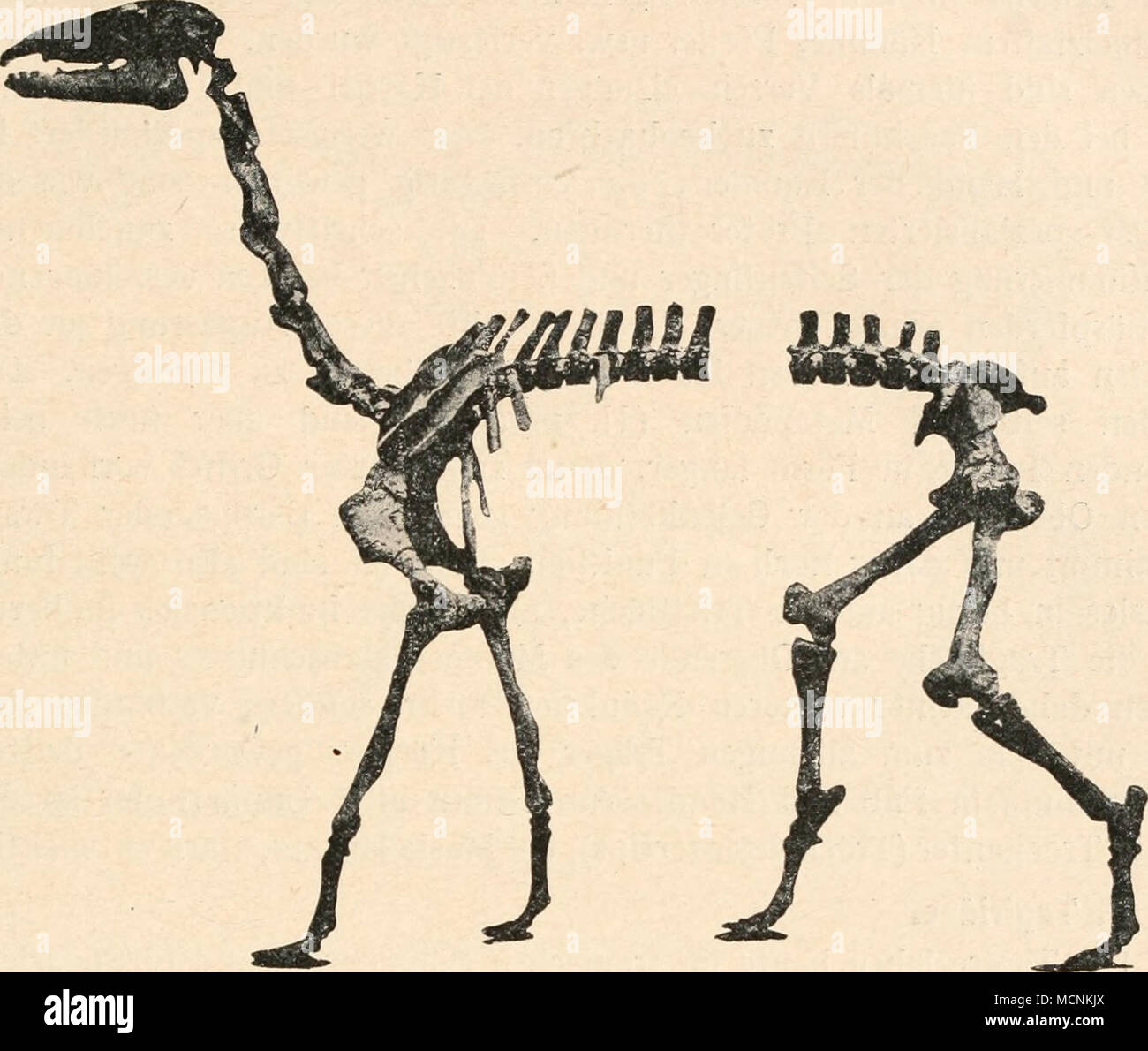 . Fig. 647. Macrauchenia patagonica, Owen, aus dem Plistozän (Pampasformation) Argen- tiniens, ein Wassertier. (Nach R. Lydekker.) XI. Ordnung: Perissodactyla. Die Perissodactylen Unpaarhufer oder sind aus den tiden hervorgegangen Phenacodon- und lassen sich daher bis in die Stammgruppe der Protungulaten zurückverfolgen. Im Eozän besaßen noch alle legal der später sich en vier Stämme (Tapiridae, Rhinocerotidae, équidos und die erloschenen, tertiären Titanotheriidae) spaltenden schlossene Zahnreihen Unpaarhufer ge- und später traten Reduktionen erst ein, die am weitesten bei den Rhinoceroti Foto de stock