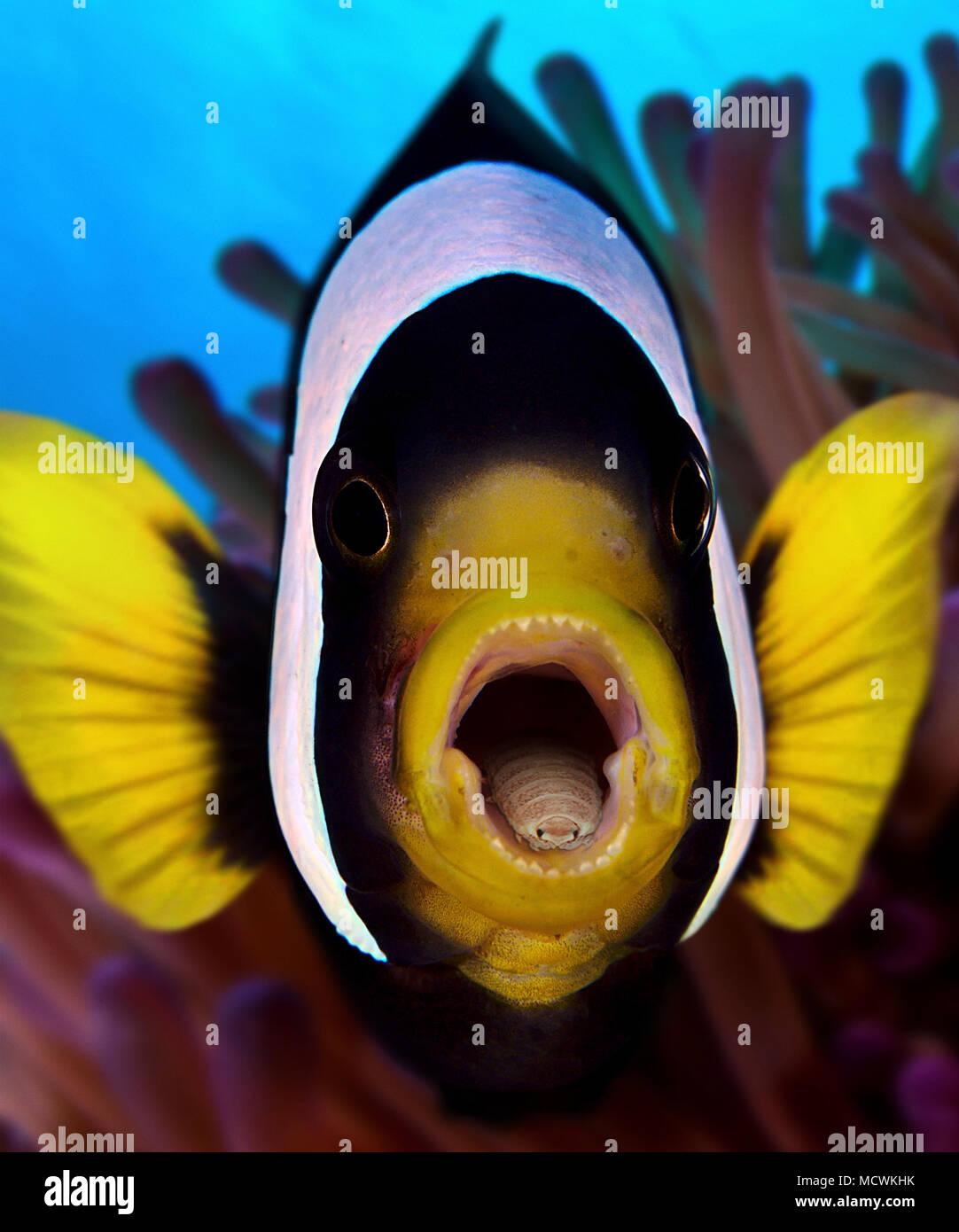 Lanza-comiendo el piojo, Cymothoa exigua, dentro de la boca de Clark's anemonefish, Amphiprion clarkii. El parásito entra en el pescado a través de las branquias, y Foto de stock