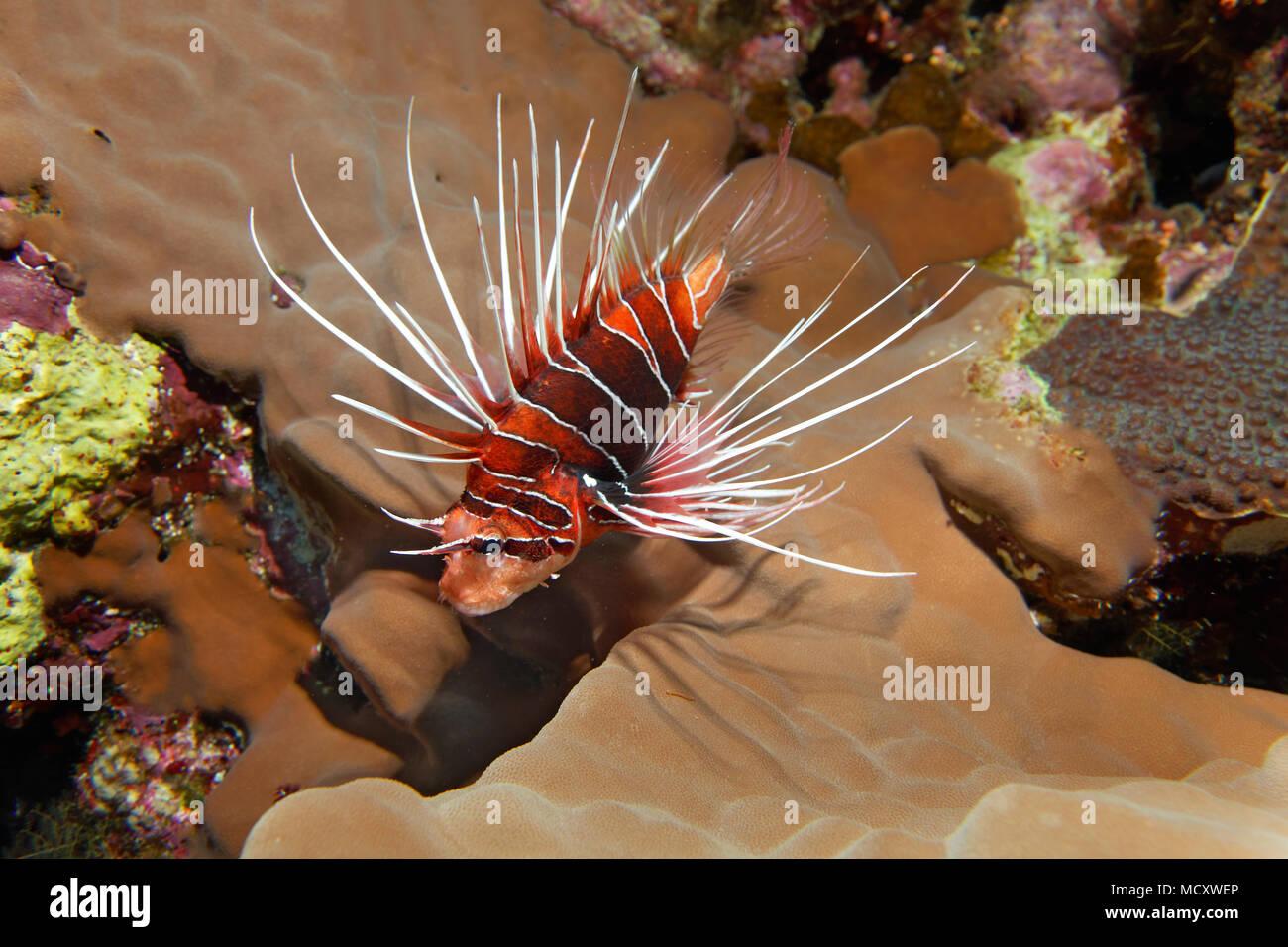 Firefish radial (Pterois radiata) en el arrecife de coral, nocturnos, Mar Rojo, Egipto Foto de stock