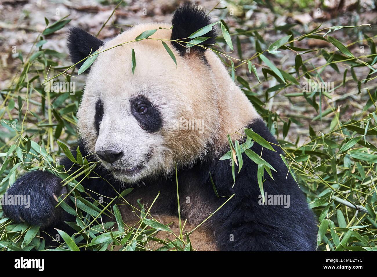 China, en la provincia de Sichuan, Chengdu, Chengdu panda gigante en el centro de investigación de cría Imagen De Stock