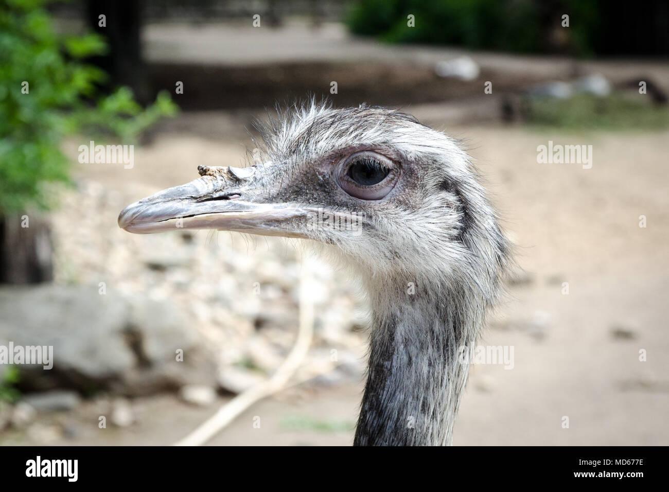 El avestruz en zoo Imagen De Stock