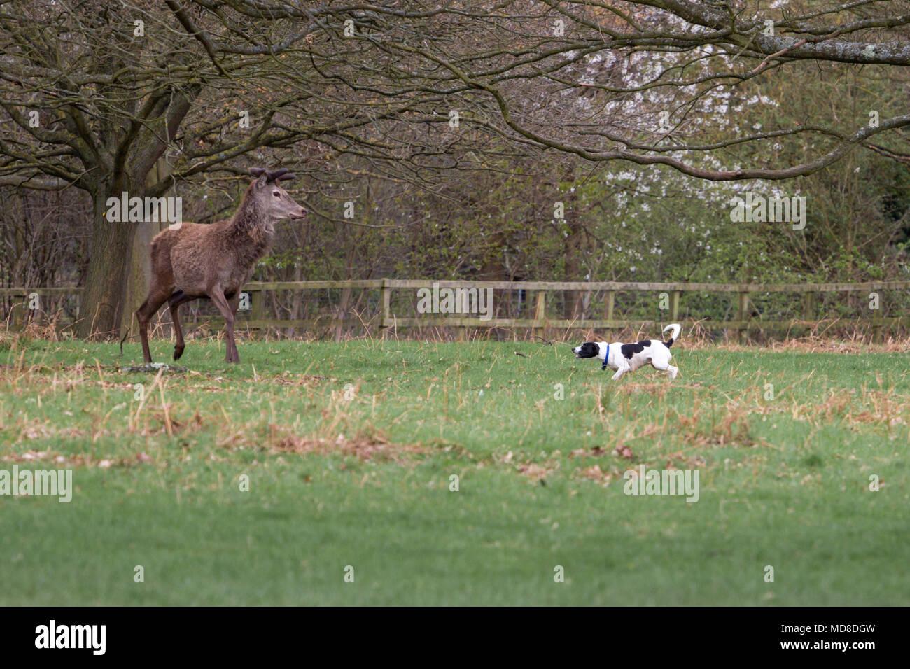 Un perro que es agresivo y hostigar a ciervos en Richmond Park, Londres . Se advierte a los propietarios para mantener a sus perros en candidatos para evitar esa confrontación. Imagen De Stock