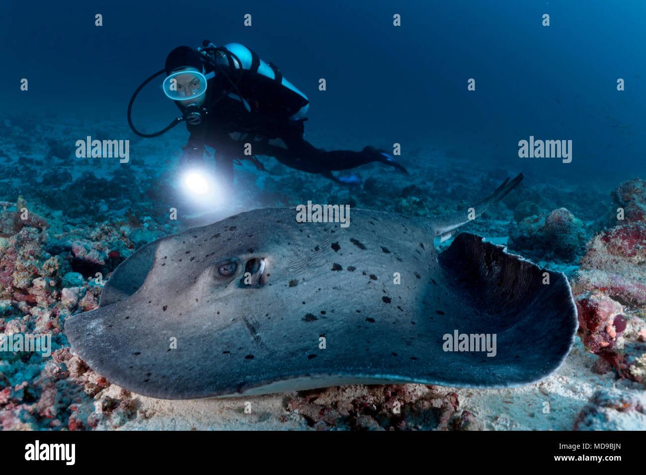 Buzo con lámpara viendo Taeniura meyeni Blackspotted stingray (Océano Índico), Maldivas Imagen De Stock