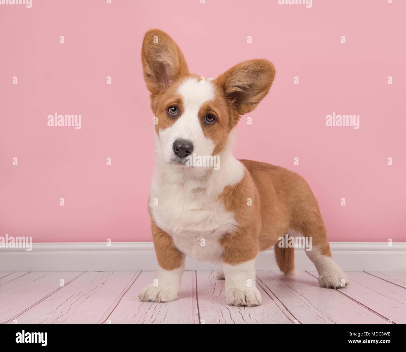 Cute Welsh Corgi pembroke cachorro de pie mirando a la cámara en un salón rosa Foto de stock