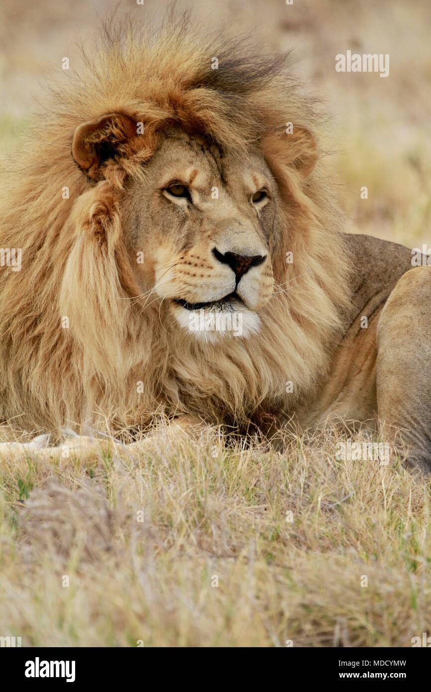 León macho ((Panthera leo) en el Drakenstein Lion Park, Klapmuts, Provincia del Cabo Occidental, Sudáfrica. Imagen De Stock